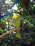 Amazona auropalliata -Macaw Mountain Bird Park -perch-8b.jpg