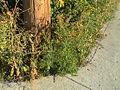 Ambrosia artemisiifolia Herbe à poux Ambroisie 2006-08-31-679.JPG