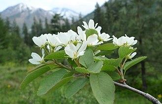Amelanchier alnifolia - A. a. var. semiintegrifolia at Icicle Canyon, Chelan County Washington