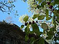 American Beautyberry (Callicarpa americana) at Hamilton Pool - panoramio.jpg