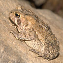 American Toad, Maryland