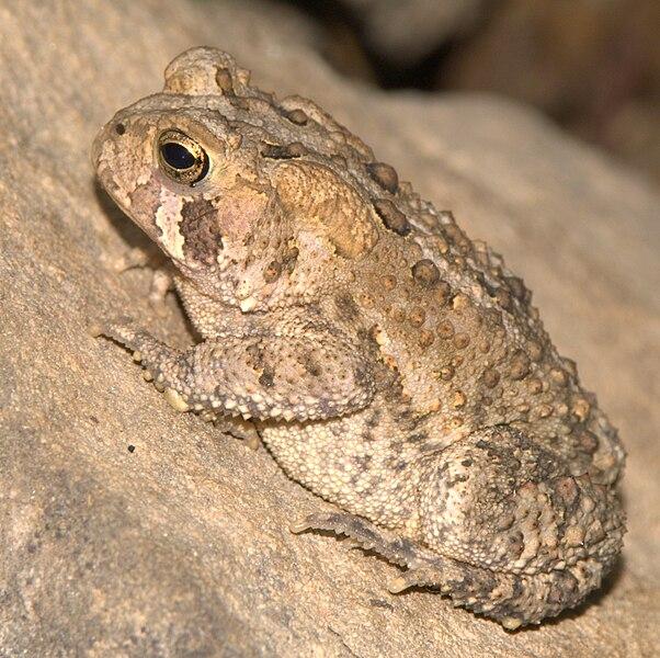 File:American Toad, Maryland.jpg