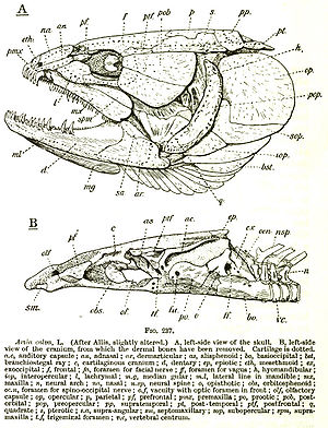 Bowfin - Drawing of a bowfin skull showing the bony plates protecting the head