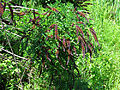 Amorpha fruticosa Muromets3.JPG
