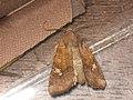 Amphipoea fucosa lucens oculea - Ear moth - Совка яровая (40398556074).jpg
