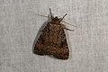 Amphipyra berbera (36379513971).jpg