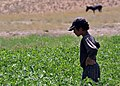 An Afghan boy looks at his crops Aug. 25, 2010, in Nawur, Afghanistan. The Ghazni Provincial Reconstruction Team was visiting the area 100820-F-ZM606-081.jpg