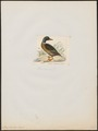 Anas boschas - 1820-1863 - Print - Iconographia Zoologica - Special Collections University of Amsterdam - UBA01 IZ17600373.tif