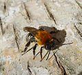 Andrena nitida. - Flickr - gailhampshire.jpg