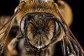 Andrena wilkella, female, face 2012-08-09-15.28.53 ZS PMax (8005027378).jpg