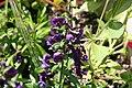 Angelonia angustifolia Angelface Blue 2zz.jpg