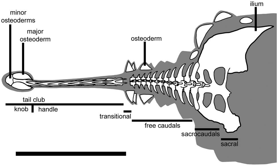 Ankylosaurus tail terminology