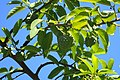 Annona squamosa kz03.jpg