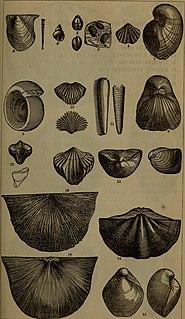 <i>Meristella</i> genus of brachiopods