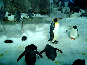 Kelly Tarlton's Sea Life Aquarium - Penguins in the former Antarctic Encounter (now Antarctic Ice Adventure)