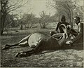 Antelope. (Hippotragus equinus).jpg