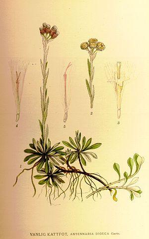 Antennaria dioica - Image: Antennariadioeca