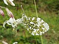 Anthocharis cardamines (14209000772).jpg