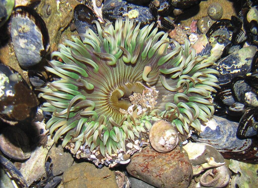 AnthopleuraElegantissima 3732.JPG