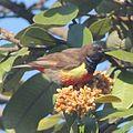Anthreptes anchietae, Cuchi, Birding Weto, a.jpg