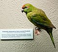 Antipodes Red-crowned Parakeet, Canterbury Museum, 2016-01-27.jpg