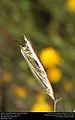 Antlion (Neuroptera, Myrmeleontidae) (29471110004).jpg