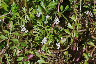 Apium - Lesser marshwort, Apium inundatum