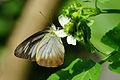 Appias lyncida eleonora female 20140516.jpg
