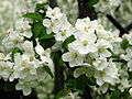 Apple blossom (Malus domestica) 05.JPG