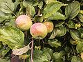 Apples (9691387993).jpg