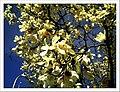 April Magnolia grandiflora Freiburg Botanischer Garten - Master Botany Photography 2013 - panoramio (6).jpg