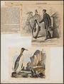 Aptenodytes pennantii - 1700-1880 - Print - Iconographia Zoologica - Special Collections University of Amsterdam - UBA01 IZ17800269.tif