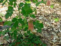 Aquilegia canadensis2