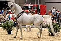 Arabian Celebration Stallion Showcase (8021596167).jpg