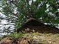 Araucária na Estação Ecológica do Tripuí-Ouro Preto-MG (1511406347).jpg