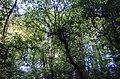 Arbol Flautista Flautist Tree (195076499).jpeg