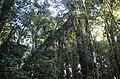 Arbol Jirafa Giraffe Tree (195076497).jpeg