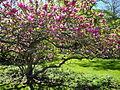 Arboretum Zürich - Magnolia × soulangeana 2012-04-26 15-41-11 (P7000).JPG