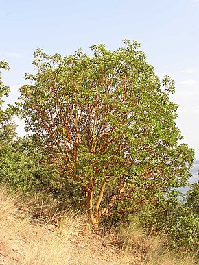 Arbutus andrachne habit (Ab plant 97).jpg
