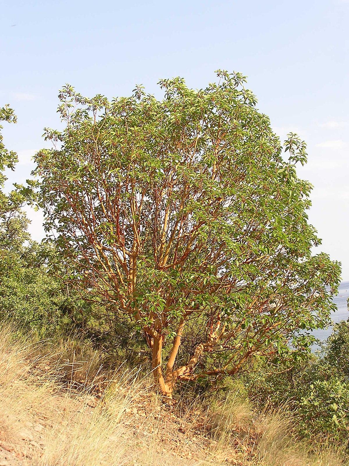 Valued image set: Arbutus andrachne (Greek Strawberry Tree ...
