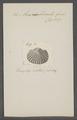 Arca corbicula - - Print - Iconographia Zoologica - Special Collections University of Amsterdam - UBAINV0274 076 04 0025.tif