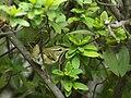 Arctic Warbler 4679.jpg