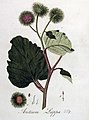 Arctium lappa — Flora Batava — Volume v4.jpg