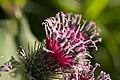 Arctium lappa flowers. - panoramio.jpg