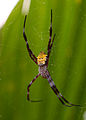 Argiope Appensa, female, Negros Occ., Philippines 7.jpg