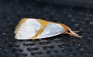 <i>Argyria auratellus</i> Species of moth