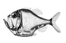 Argyropelecus olfersii1.jpg