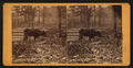 Arkansas cow, by J. F. Kennedy.png