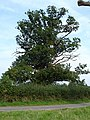Arnold's other oak - geograph.org.uk - 241543.jpg