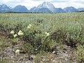 Artemisia arbuscula (9371409703).jpg